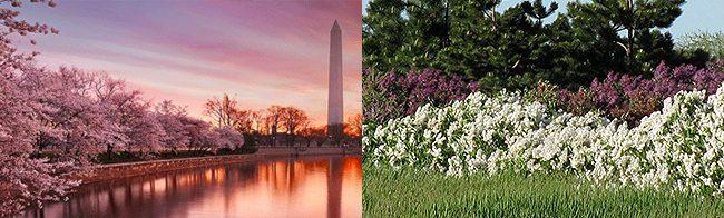 CherryBlossoms-Lilacs-3