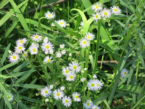 Rock Island, July 30, 2019. Fleabane, possibly Prairie Fleabane (Erigeron strigosus), a good native plant. Blooms June-September.