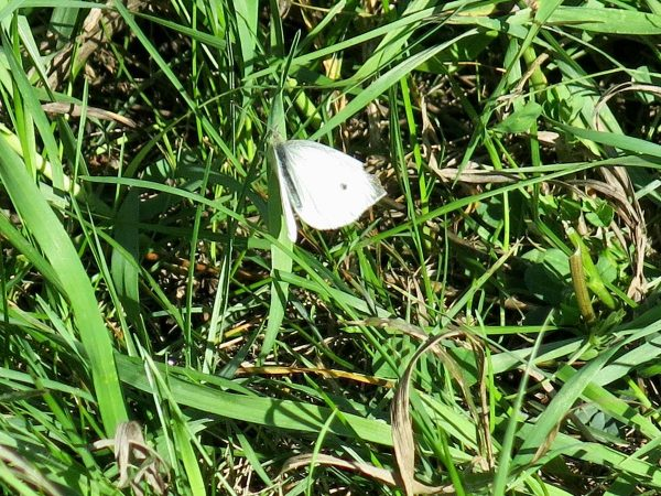 Rock Island, Sept. 8, 2021. Cabbage white butterfly, feeds on flower nectar from mustard, dandelion, red clover, aster, and mint.