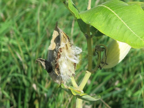 Rock Island, Sept. 8, 2021. Monarch butterflies are totally dependent on milkweed when they are in the larval stage. Monarch caterpillars eat the leaves.