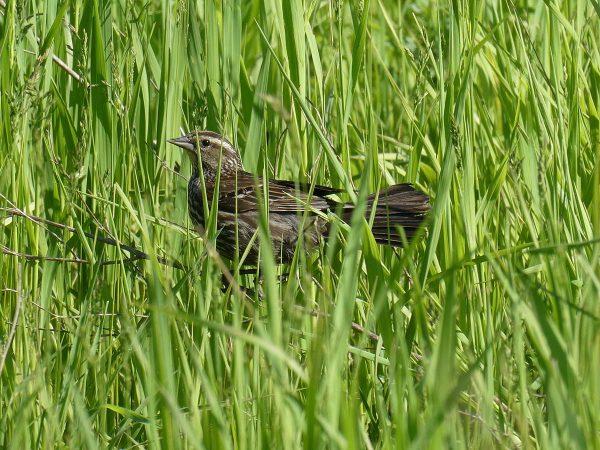 Rock Island, June 5, 2019. Female Red-Winged Blackbird seen in park's open space.